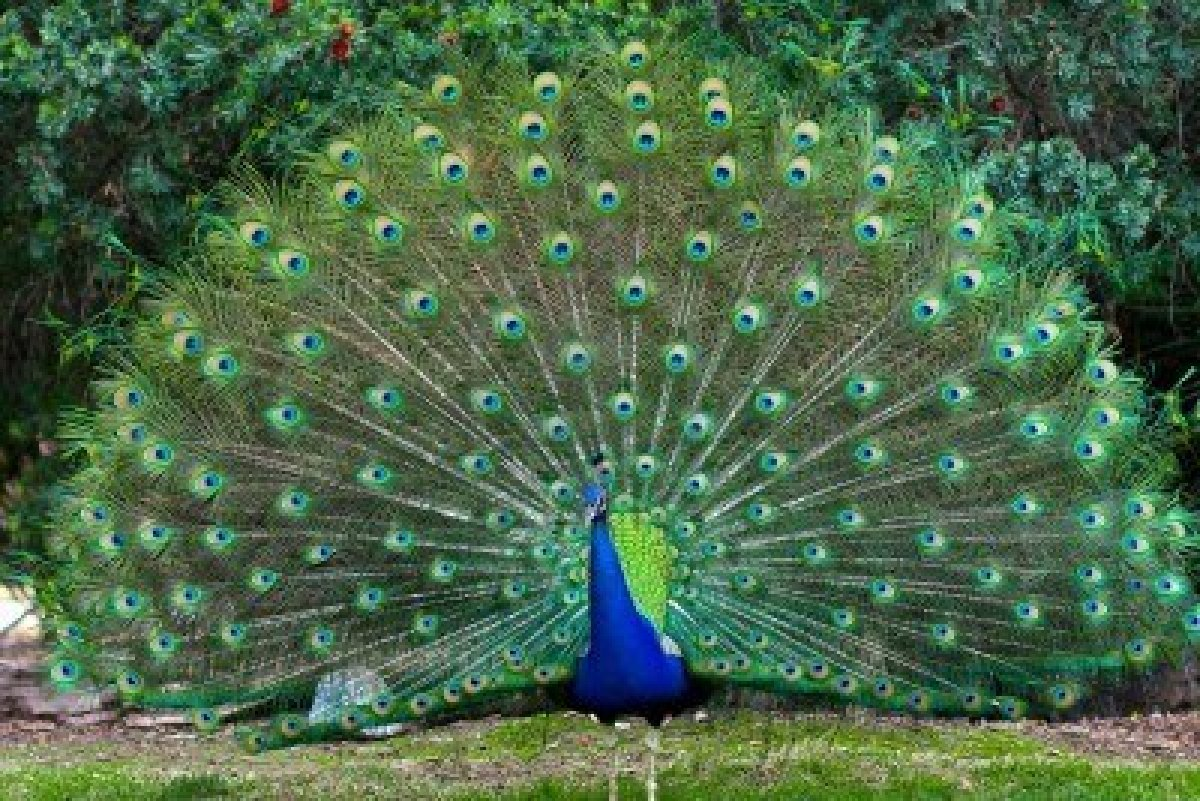 Peacock in Achutham Kesavam